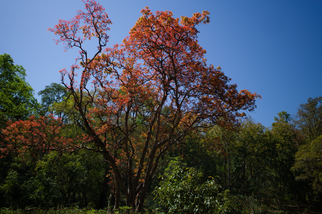 Kusum tree at its vibrant best