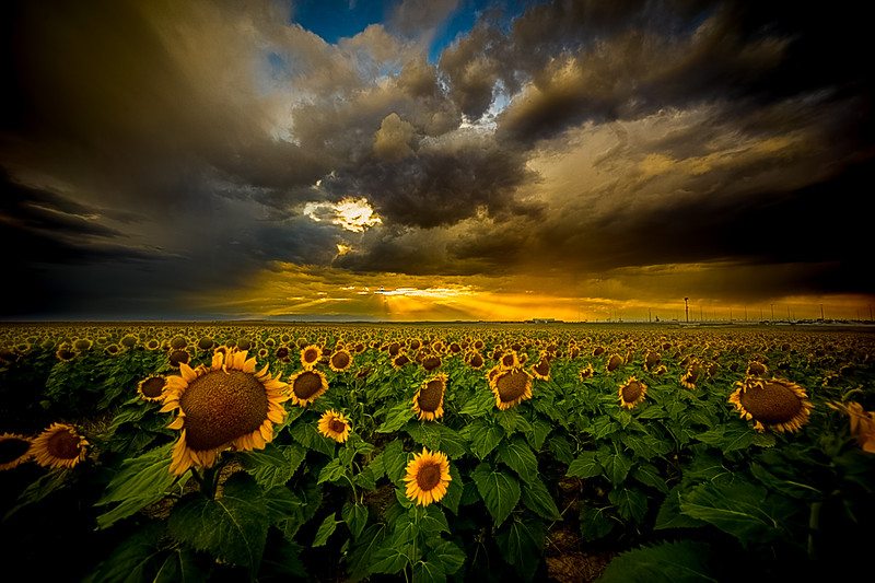 Sunset and the Sunflowers