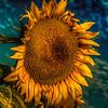 Sunflower against Aqua Sky