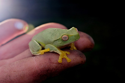 I like this image as it breaks the rule of thirds. The point of focus is the eye which is bedded in an organic bond between the stippled skin of the frog and the fingerprints on the hand. The scene is framed by tension which is created by the light streaming in from one side  and the safety of darkness on the other. He seems content, but maybe he'll jump....