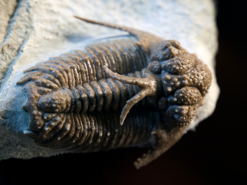 Haplolichoides conicotuberculatus (Ordovician), St. Petersburg, Russia