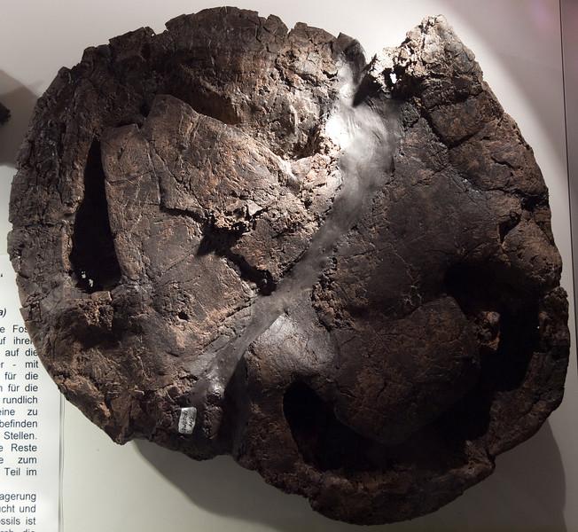 Ocadia sp., aquatic turtle, Lutetian, Eocene (44.3 Ma), Eckfeld maar lake deposits<br /> <br /> Olympus E-600 & Zuiko 12-60mm/2.8-4.0