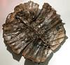 Trionyx sp., fossil softshell turtle, Lutetian, Eocene (44.3 Ma), Eckfeld maar lake deposits<br /> <br /> Olympus E-600 & Zuiko 12-60mm/2.8-4.0