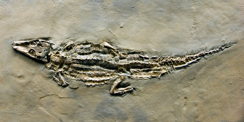 Messel alligator, Eocene