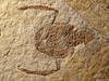 Knebelia bilobata (Jurassic), Solnhofen, Germany