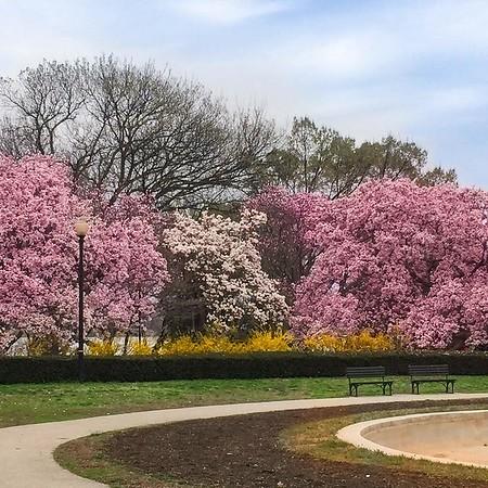 Cherry Blossoms- Washington, DC