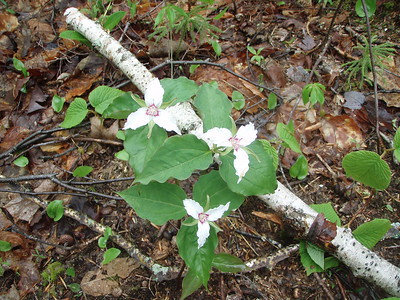 Soon we came to appreciate blooming painted trilliums, goldthread, and hobblebush flowers.