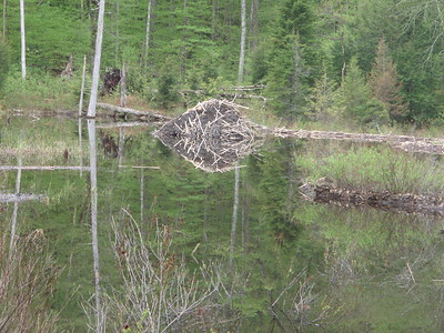 We checked out the beaver lodge at the Beaver Pond.