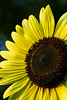 A Big sunflower