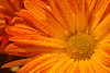 Orange Yellow Mum