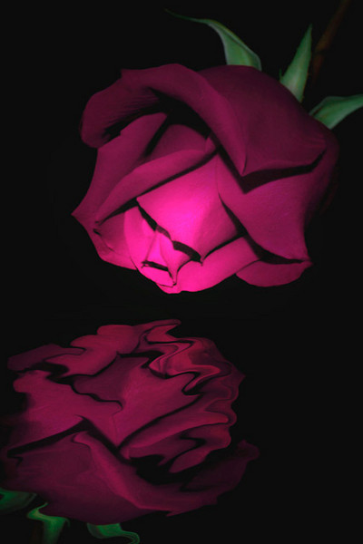Rose Reflection