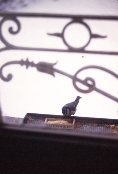 """""""Botchie"""" at our window feeder"""
