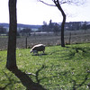New lambs at the chateau