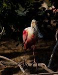 Roseate Spoonbill Portrait- Smith Oaks Rookery