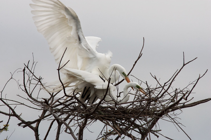 Mating Great White Egrets