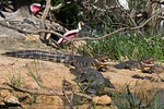 Three Happy Gators and A Roseate Spoonbill