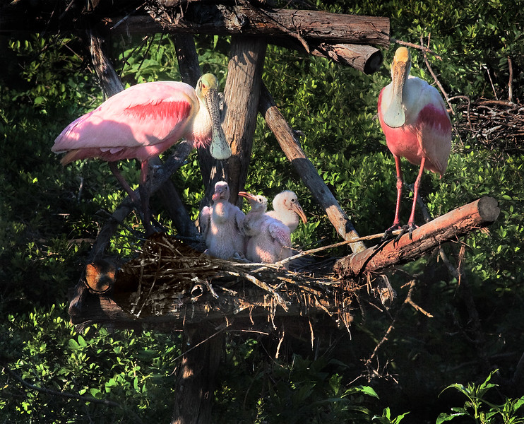 Proud Roseate Spoonbill Family