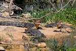 Ha ! Ha ! Ha ! Ha ! Ha ! Three Happy Gators