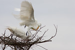 Bringing The Right Twig- Great White Egrets
