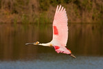 Roseate Spoonbill Flying Colors
