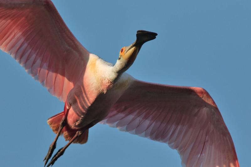 Roseate Spoonbill Flying Overhead