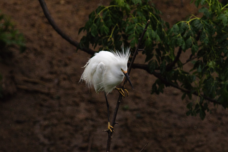 Snowy Egret In the Rain