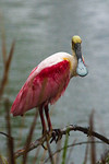 Roseate Spoonbill In The Rain