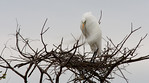Guarding The Nest -Great White Egret