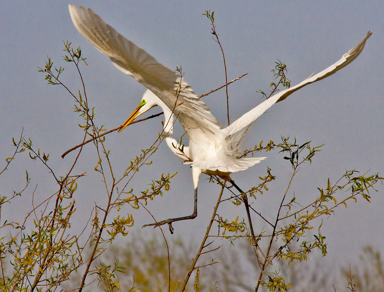 Tricky Twig Delivery- Great White Heron