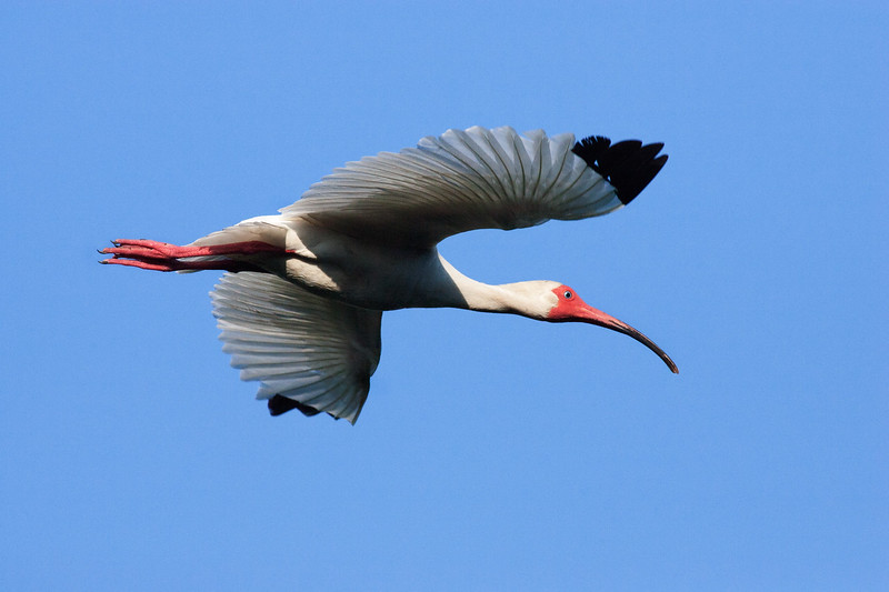 White Ibis Flyby