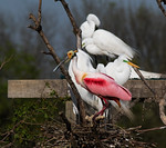 Roseate Spoonbill Visits The Neighbors