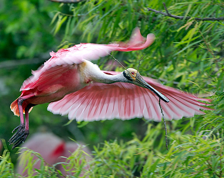 Roseate Spoonbill Carrying Twig for Nest