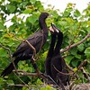 Neotropic Cormorant & Chicks in Nest