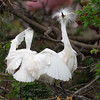 Snowy Egret Bad Hair