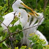 Great Egret Chicks Asking to be Fed