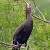 Neotropic Cormorant Yawning