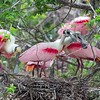 Roseate Spoonbills on Nest