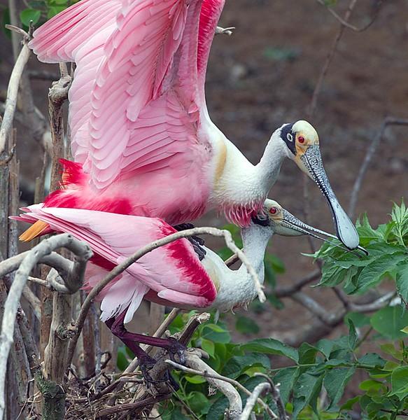 Roseate Spoonbills Mating