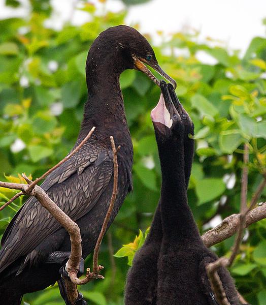 Neotropic Cormorant & Chicks in Nest