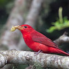 Summer Tanager Holding Mulberry