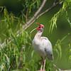 White Ibis Immature Yawning