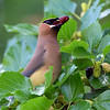 Cedar Waxwing and Mulberry