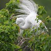 Great Egret Breeding Plumage