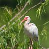 White Ibis Immature
