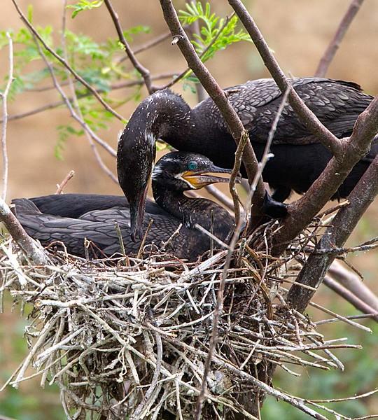 Neotropic Cormorants on Nest