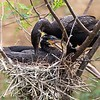 Neotropic Cormorants on Nest