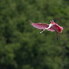 Roseate Spoonbill Small in Frame