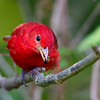 Summer Tanager with Bee in Bill