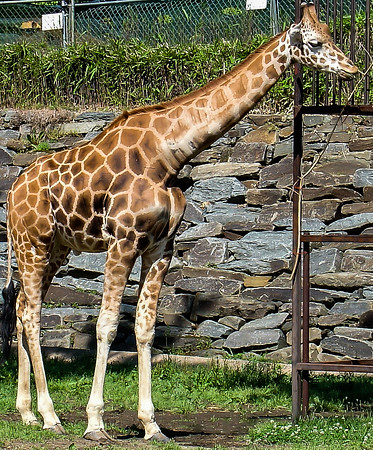 Giraffe, Smithsonian National Zoological Park, Washington, DC