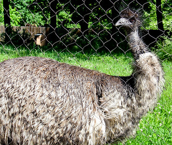 Curious Emu, Smithsonian National Zoological Park, Washington, DC